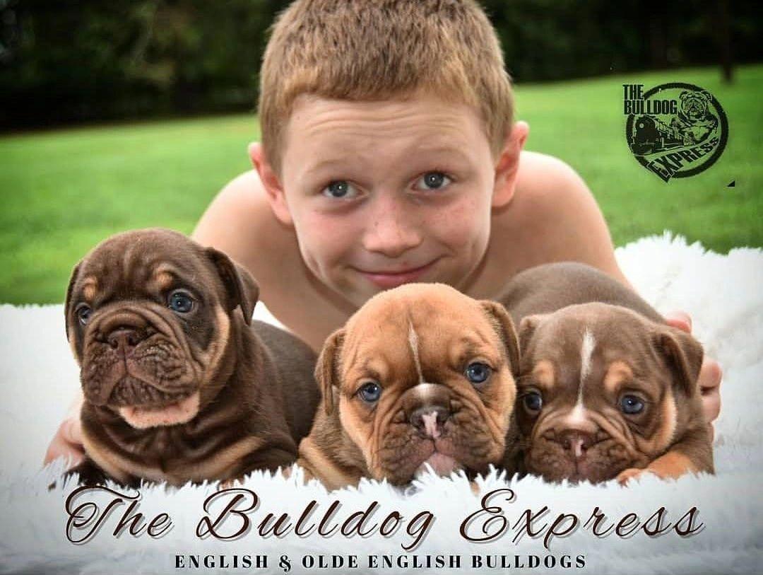English Bulldogs The Bulldog Express