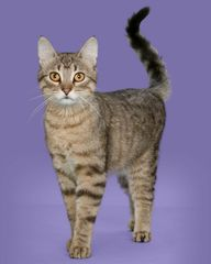 Sponsor an Acro-cat: Asti the Sneak!