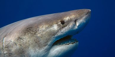 Great white shark photographed by Juan Oliphant during a dive with One Ocean Diving crew.
