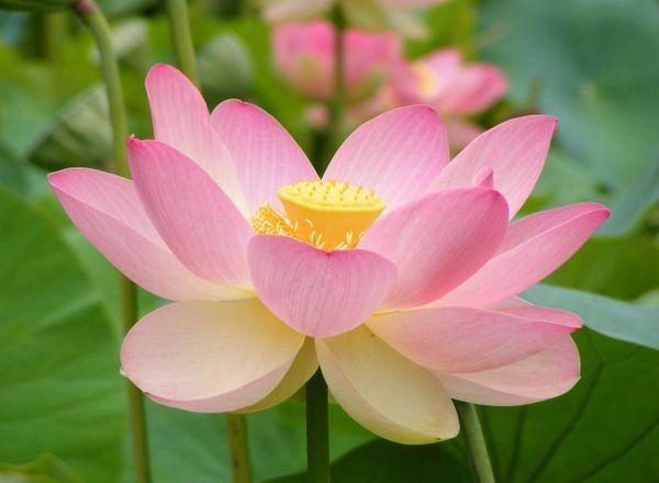 Attar Lotus