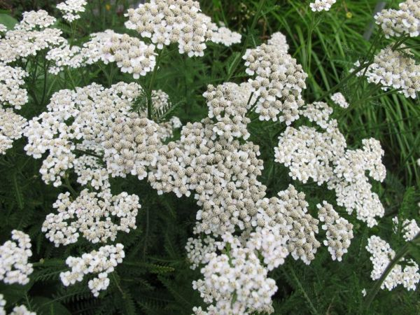 Yarrow, Bulgarian