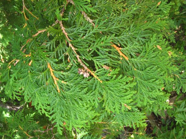 Thuja Arborvitae