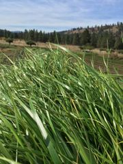 Sweet Grass Hydrosol