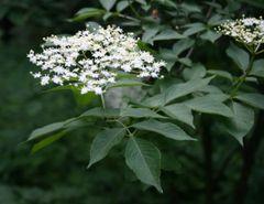 Elderflower Hydrosol