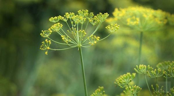 Fennel CO2