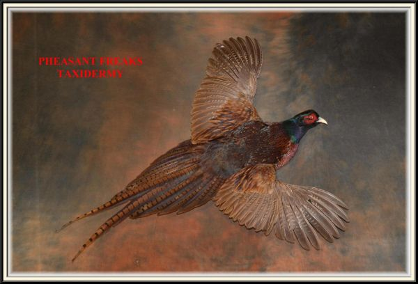 Black neck pheasnat flying right wall hanging mount