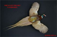 RINGNECK PHEASANT MOUNT FLYING RIGHT ILDNR#435-16