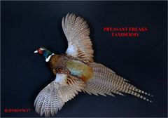 RINGNECK PHEASANT MOUNT FLYING LEFT ILDNR#478-16