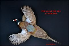 RINGNECK PHEASANT MOUNT FLYING LEFT ON WEATHERED WOOD BASE ILDNR#385-16