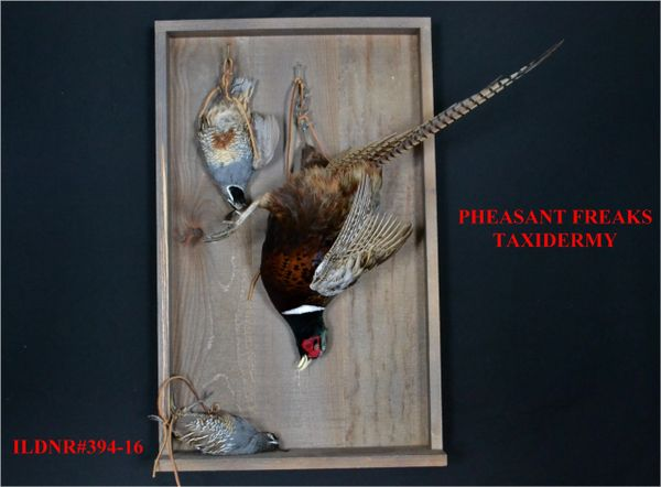 "SALE LEGAL 2 CALI QUAIL WITH RIGNECK PHEASANT IN ""DEAD"" MOUNT POSITION ILDNR#394-16/381-16"
