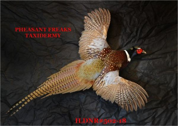 SOLD RINGNECK PHEASANT MOUNT FLYIHNG RIGHT ILDNR#502-18