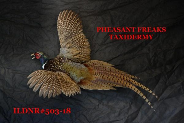 SOLD RINGNECK PHEASANT MOUNT FLYING LEFT ILDNR #503-18