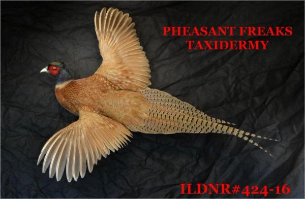 BUFF RINGNECK PHEASNT MOUNT FLYING LEFT ILDNR#424-16