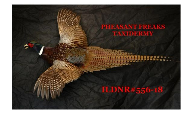 RINGNECK PHEASANT MOUNT FLYING LEFT ILDNR#556-18