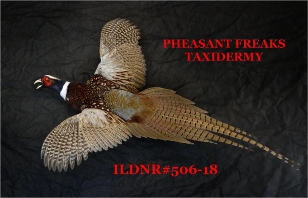 PHEASANT TAXIDERMY MOUNT FLYING LEFT ILDNR#506-18