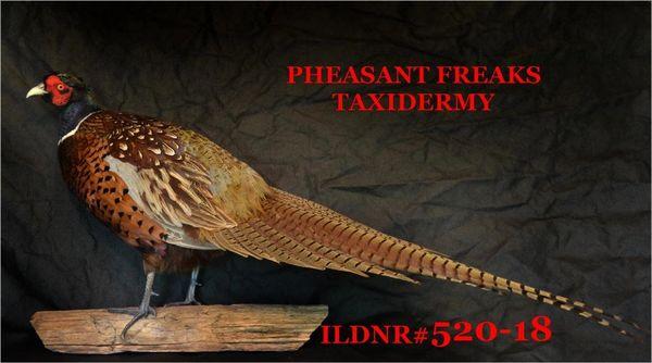 SOLD RINGNECK PHEASANT MOUNT STANDING LEFT ILDNR#520-18