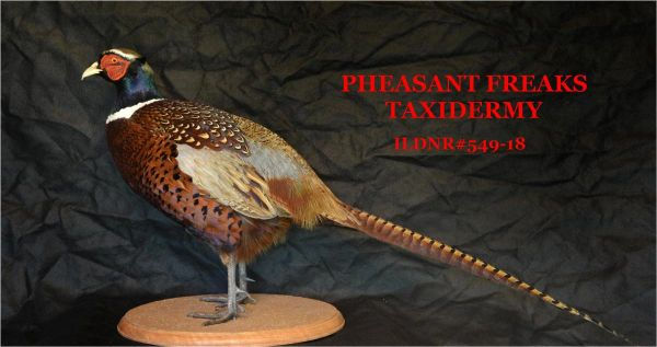 SOLD PHEASANT TAXIDERMY MOUNT STANDING ON ROUND WOOD BASE ILDNR#549-18