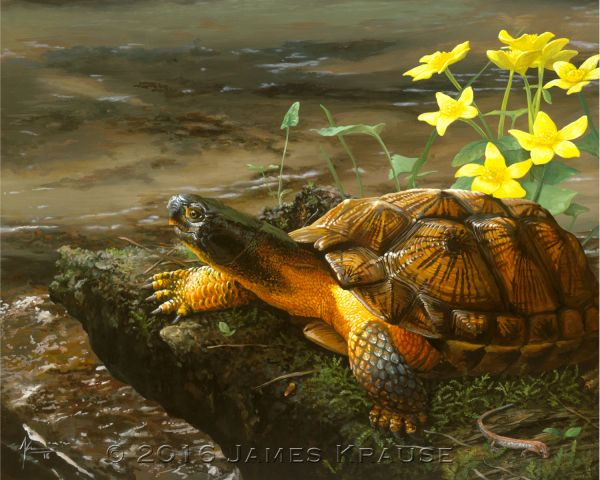 """America's Fragile Armor. North American Wood Turtle (Glyptemys insculpta)."" 11"" x 14"" Canvas Giclee"