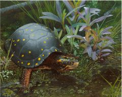 """America's Fragile Armor. Spotted Turtle (Clemmys guttata)."" 11"" x 14"" Canvas Giclee"