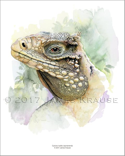 "Cyclura nubila caymanensis. Watercolor, 8"" x 10"" Limited Edition Print"
