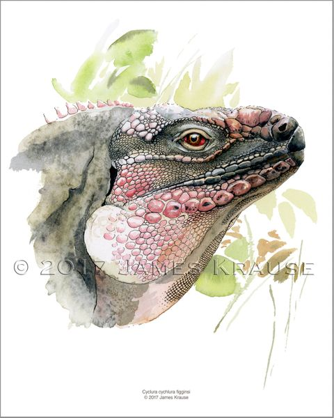 "Cyclura cychlura figginsi. Watercolor, 8"" x 10"" Limited Edition Print"