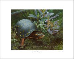 """America's Fragile Armor. Spotted Turtle (Clemmys guttata)."" 16"" x 20"" Limited Edition Print"