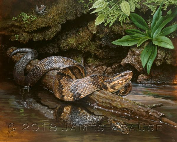 """The Pit Vipers of Snake Road: 1 Water Moccasin"" (Agkistrodon piscivorus)."" 11"" x 14"" Original Painting"