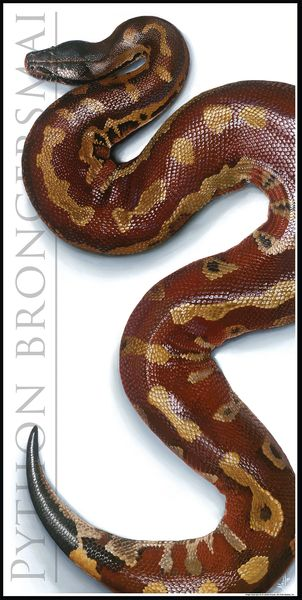 "Blood Python Poster. 15"" x 30"" (Python brongersmai)"