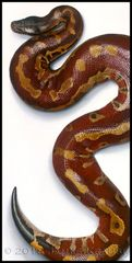 "Blood Python Canvas Giclee. 18"" x 36"" (Python brongersmai) *Unstretched"