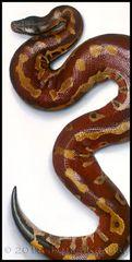 "Blood Python Original. 18"" x 36"" (Python brongersmai)"