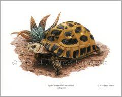 "Pyxis arachnoides, 11"" x 14"" Limited Edition Print"