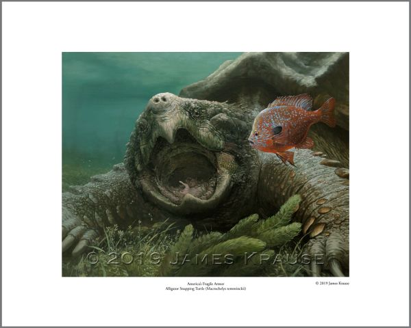 """America's Fragile Armor. Alligator Snapping Turtle (Macrochelys temminckii)."" 16"" x 20"" Limited Edition Print"
