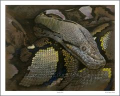 """Lying In Wait"" Open Edition Print of Reticulated Python 16"" x 20"""