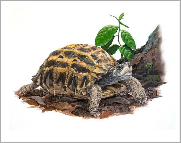 """Pyxis planicauda, 18"""" x 24"""" Canvas Giclee"""