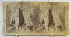 Vintage Underwood & Underwoed Stereoview Card 1902 Mother of the Forest