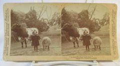 Vintage Underwood & Underwoed Stereoview Card 1901 Girl with Bull & Sheep