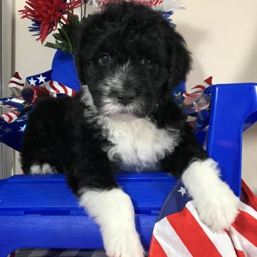 Portuguese Water Dog puppies for sale.