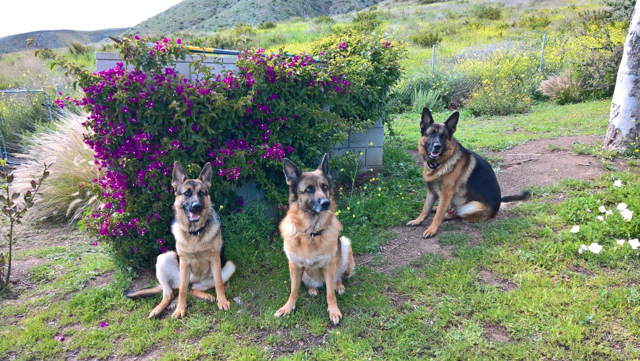 L-R the author's pups: Sorcha, Ceili, and Ronin