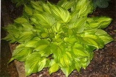 Ventricosa Aureomaculata [M]