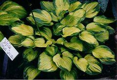 Wylde Green Cream [S]