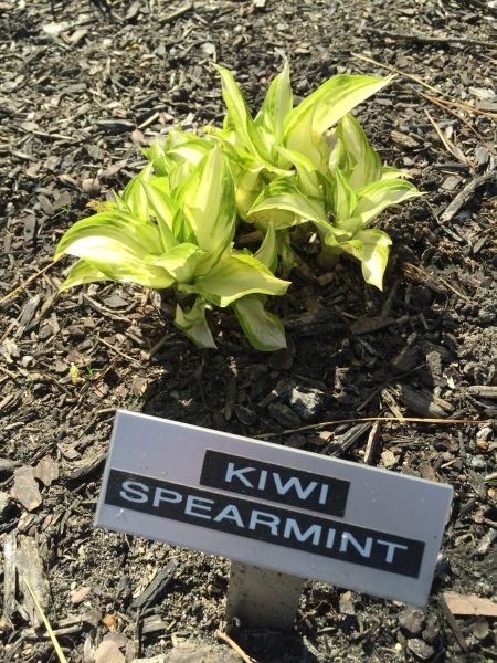Kiwi Spearmint [S]
