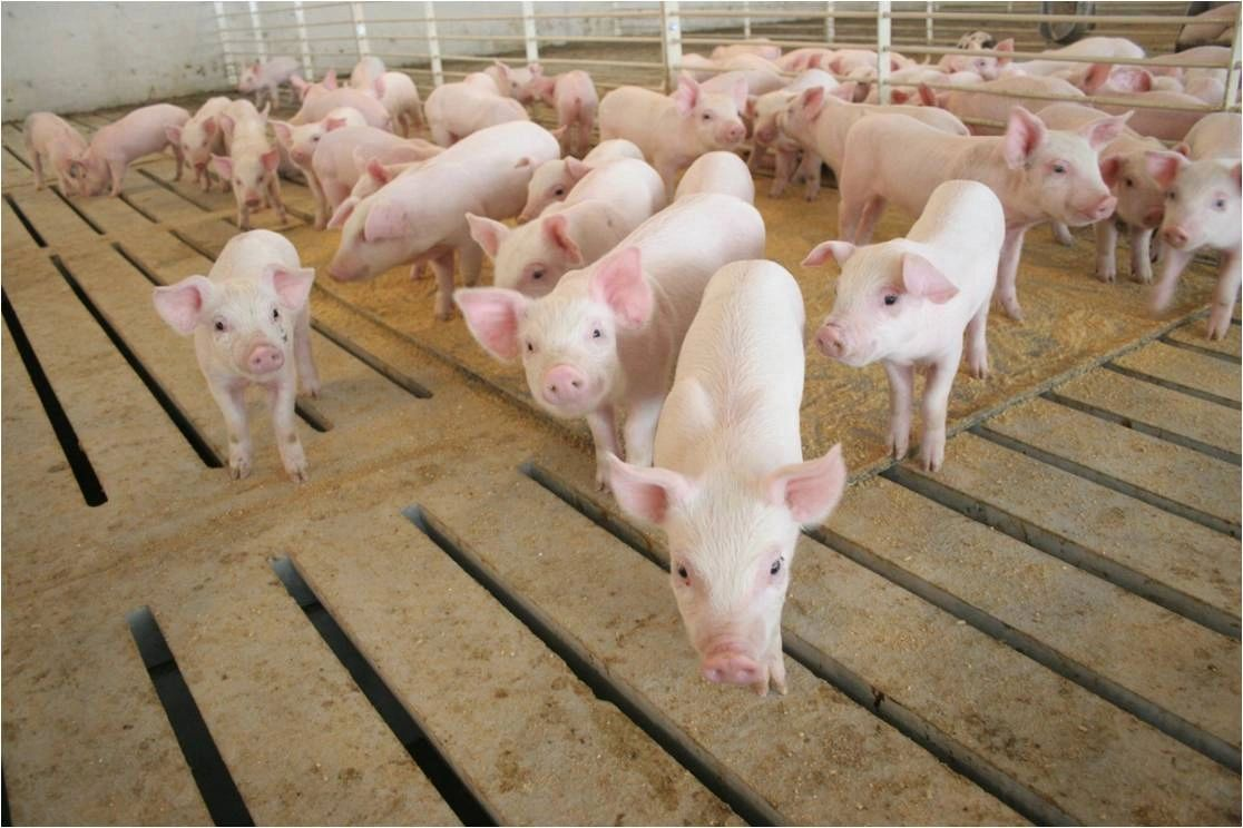 Pigs in Wean to Finish Barn