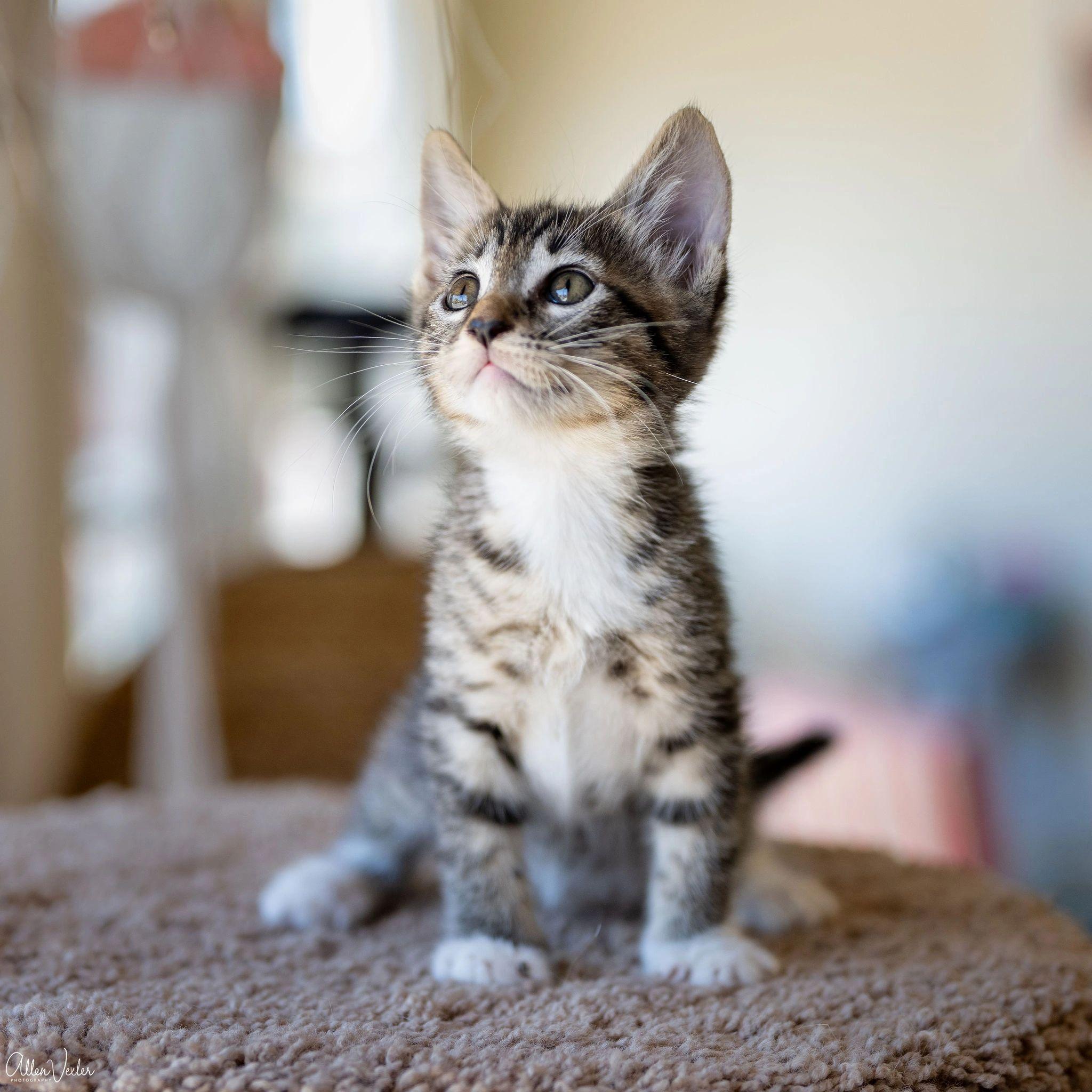 Cats Center | Dwarf kittens, Cats, Tiny cats