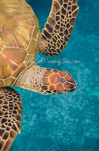 5 x 7 Honu (Turtle) Print