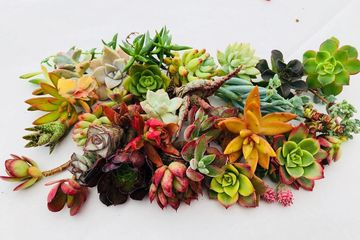 Colorful succulent cuttings by Chopstick and Succulents.