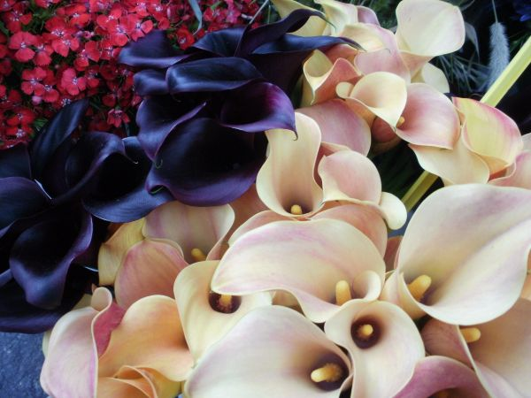 calla two colors