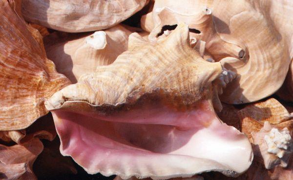 Ocracoke conch