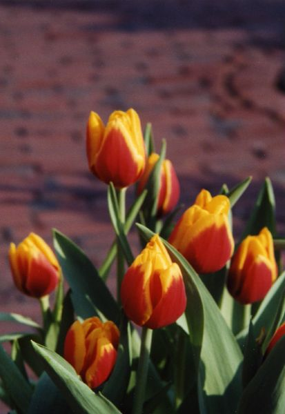 Boston tulips multi