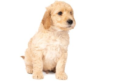 Trained Mini Labradoodle Puppies shipping