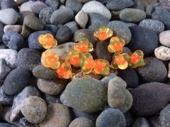 Embryo Egg Clusters: Natural Orange with Orange Dot